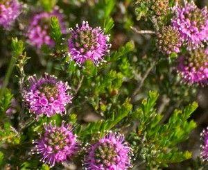 Kunzea recurva     Erect shrub