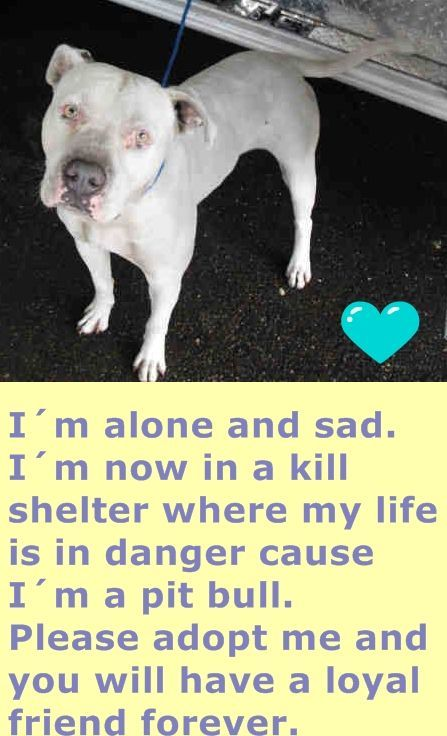 RON (A1701928) I am a male white American Bulldog mix. The shelter staff think I am about 2 years old. I was found as a stray and I may be available for adoption on 06/05/2015. Miami Dade http://www.facebook.com/...
