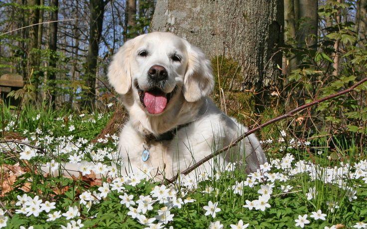 цветы, Собака, лето