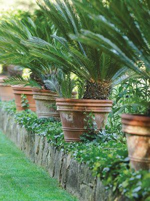 Beautiful row of potted Sago Palms.Pools Area, Wedding Shower, Sago Palms, Garden Design, Terracotta Can, Pots Palms, English Gardens, Outdoor Gardens, Gardens Design