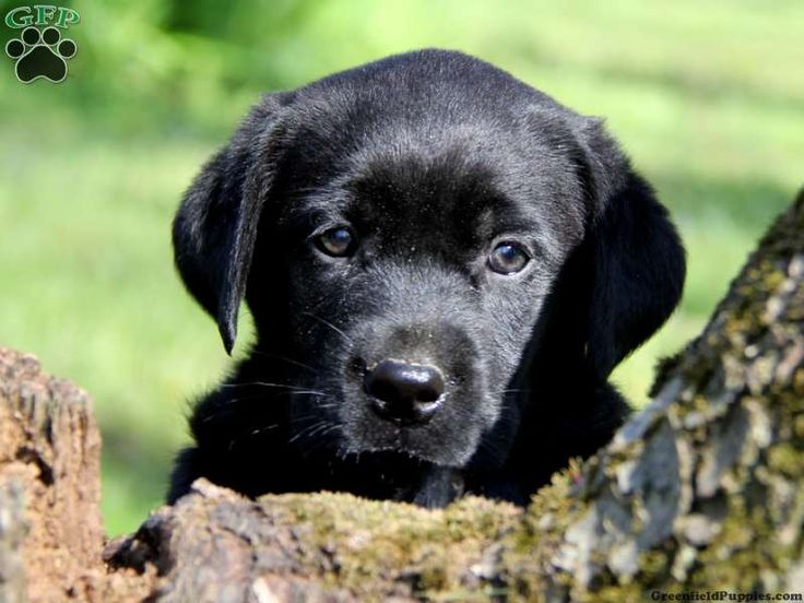 Black lab puppies in pa