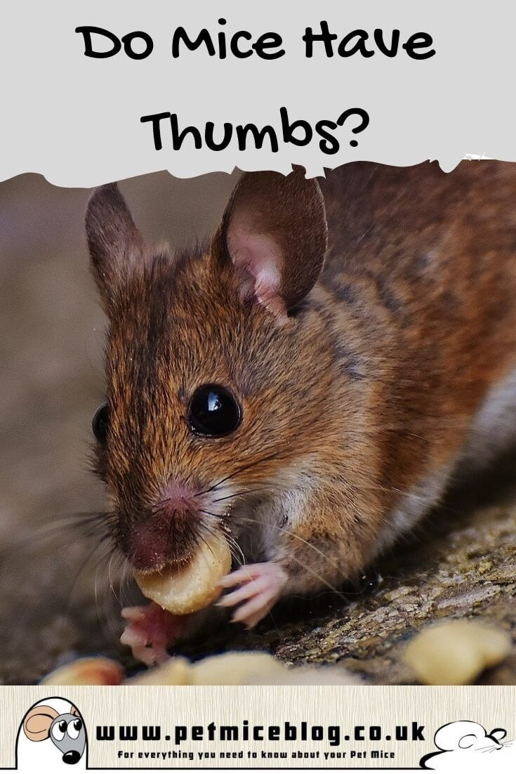 Do Mice Have Thumbs A Look At How Their Claws Work Pet Mice