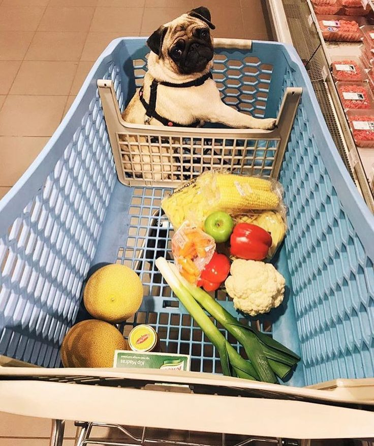 When you go shopping and all the humans put in the trolley are vegetables! Photo by @pebbles_thepug Want to be featured on our Instagram? Tag your photos with #thepugdiary for your chance to be featured.
