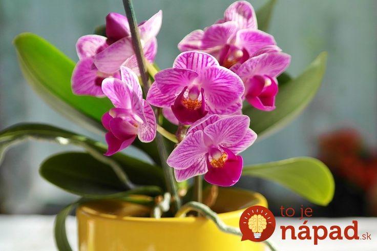 Sú listy orchideí ochabnuté, odpadajú im púčiky a nechcú kvitnúť? TAKTO im pomôžete!