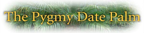 The Pygmy Date Palm, Phoenix roebelenii