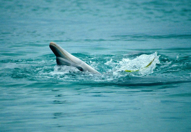 Photographer Pernille Westh | Bottlenose dolpin photographed in Australia · Get my 7 FREE basic photography tips - you need to know! http://pw5383.wixsite.com/free-photo-tips