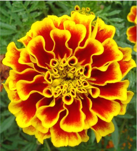 the  best marigold tattoo ideas on   forearm flower, Natural flower