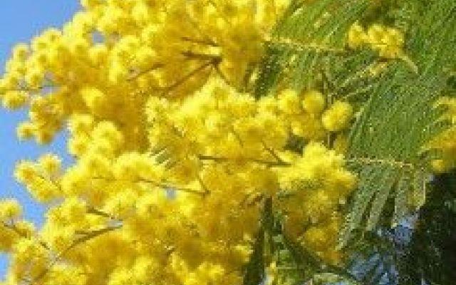 8 marzo, festa della donna: lavoretti e doni fai da te #festa #della #donna #mimosa #regali #doni