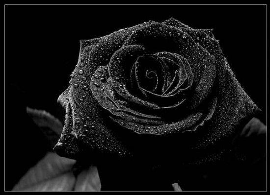 Moños+negros,+lazos+de+luto+y+rosas+de+duelo+en+imágenes+para+Whatsapp