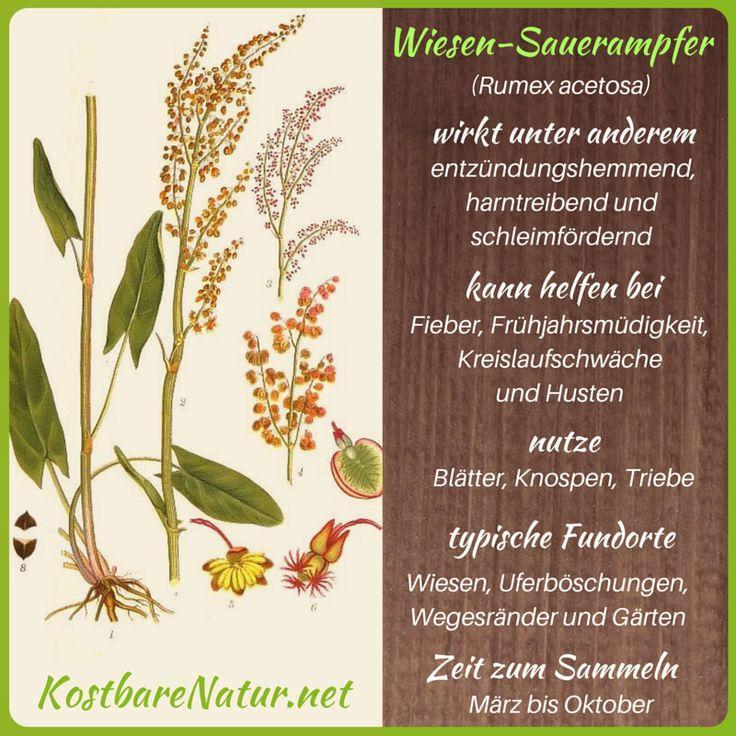 Wiesen-Sauerampfer