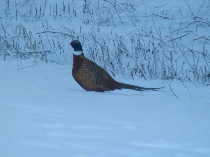 a pheasant walking in the snow
