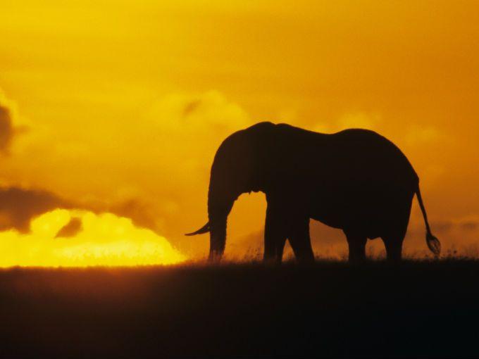Según datos de la red de vigilancia del tráfico de vida salvaje TRAFFIC, el año pasado fue el peor de las últimas décadas para los elefantes africanos.  La prueba es el incremento explosivo del tráfico ilegal de colmillos: tan solo en 2011, más de 23 toneladas de marfil fueron requisadas en 13 grandes operaciones contra este comercio. Mientras en 2010 hubo seis grandes incautaciones, cuyo peso total fue de algo menos de menos de 10 toneladas de marfil, una estimación conservadora del peso…