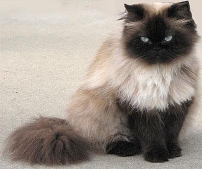 Himalayan cat: Siam Cat, Seals Points, Himalayancat, Points Himalayan, Himalayan Cat, Persian Cat, Cat Breeds, Pet Pet, Animal