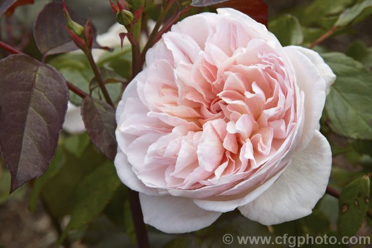 Rosa 'Alfred de Dalmas' (syn. 'Mousseline'), a compact, fragrant Autumn Damask Moss rose bush raised by Portemer of France in 1855.