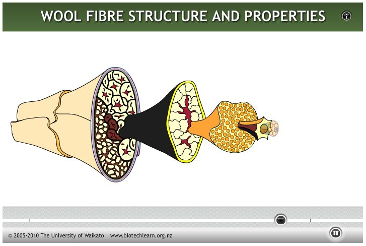 ANIMATION: This interactive shows the cellular structure of wool fibre and how this relates to its properties.