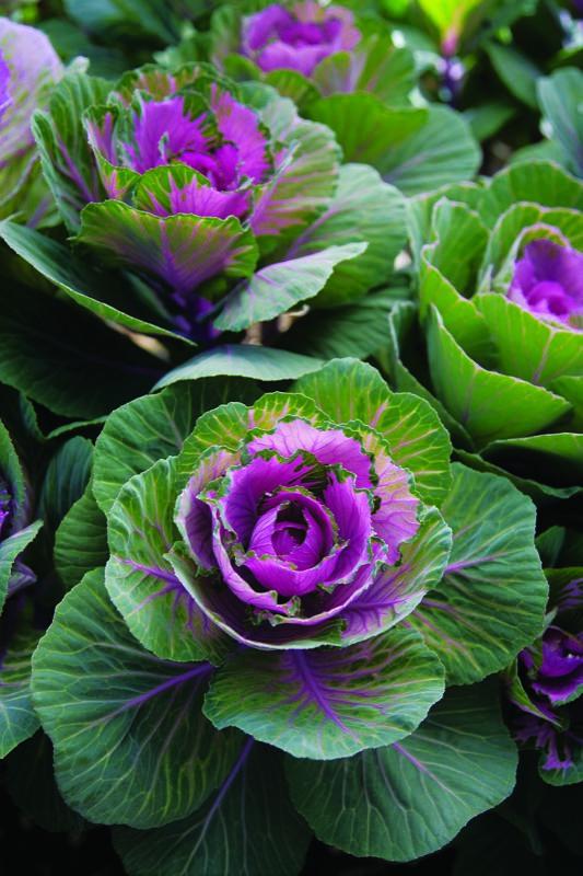Gorgeous purple & green winter cabbage