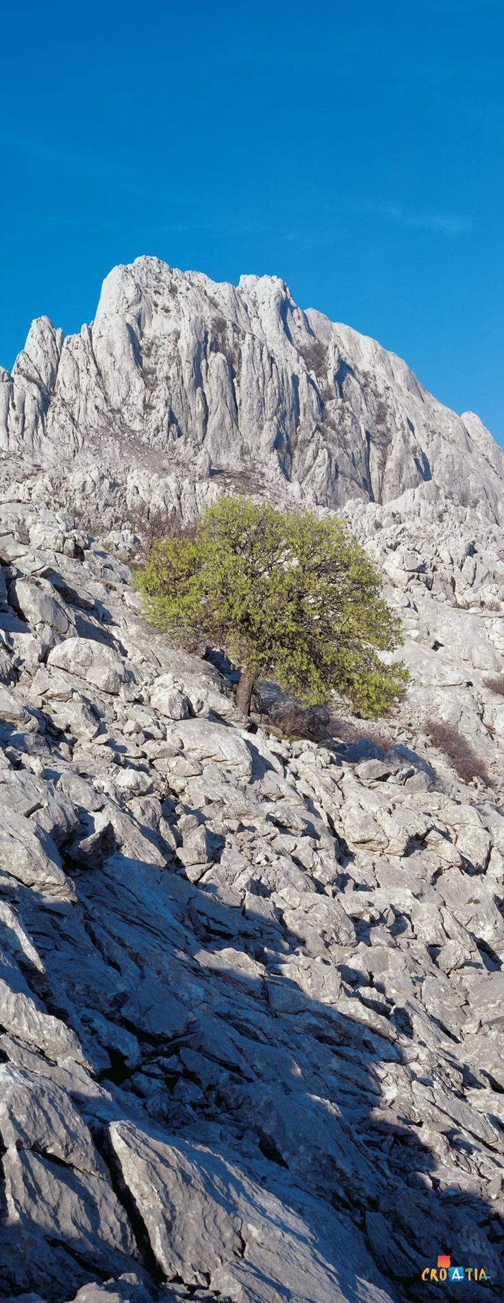 Velebit - the largest  mountain range in Croatia,  / tree in a harsh stone environment #croatia #hrvatska
