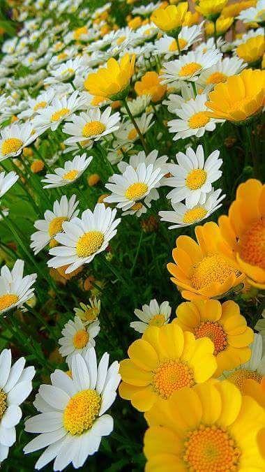 Flowers - Сamomile - Ромашки. - المنتدى - Google+