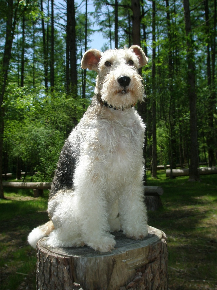 """I can see what you're hiding!"" #dogs #pets #WireFoxTerriers…"