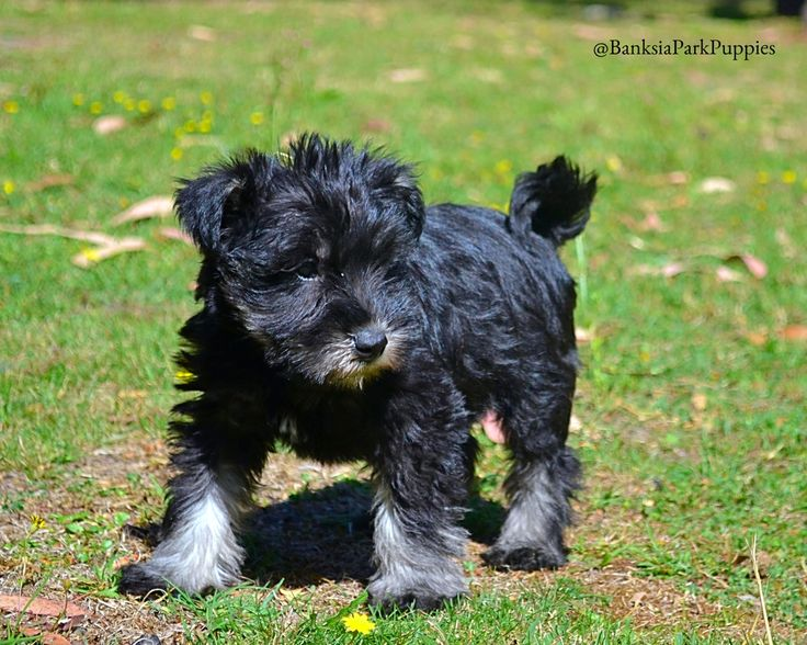 There's something special about Schnauzers!