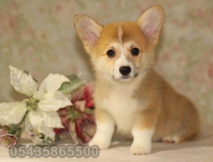 satılık yavru welsh corgi http://welsh-corgi.yavruilani.com/satilik-pembroke-welsh-corgi/