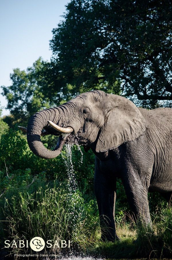 A large elephant bull quenches his thirst before moving through an open area.
