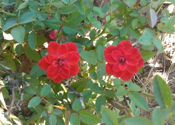 Rosas pequeñas