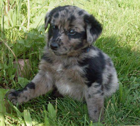 australian shepherd lab mix | Mina the Australian Shepherd Mix | Puppies | Daily Puppy