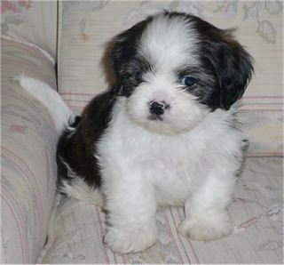 Shih tzu puppies | high Resolution cute puppy pict..., cutest puppies ever in the world, pics of cute dogs, show me pictures of puppies, pictures of cute dogs.