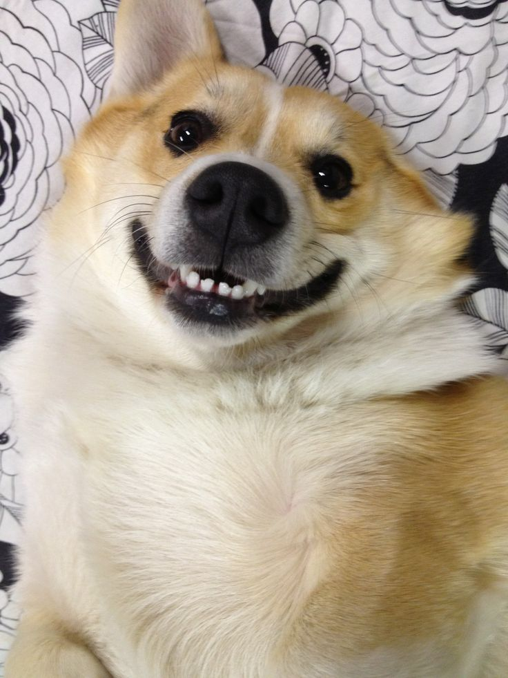 Happy Corgi | Cute | Pinterest