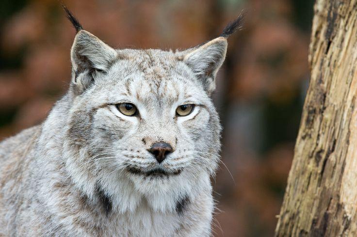 lynx boréal au parc de sainte-croix par http://photographika.fr