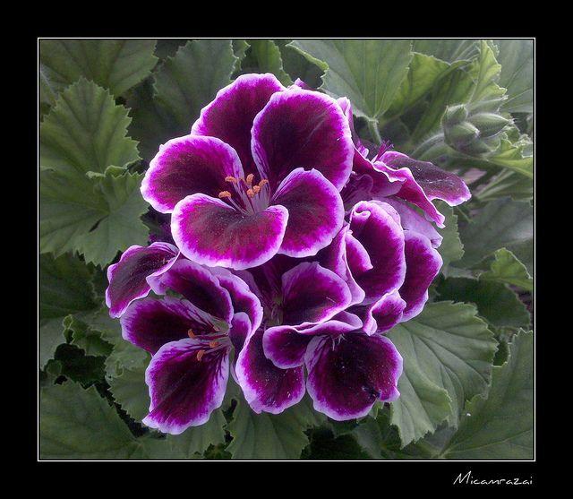 Martha Washington Geraniums Care: 858 Best Images About Dream Garden On Pinterest