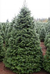 Noble Fir Tree from Oregon is deep blue/green in color and has unusually lovely branch shape. Boughs of this tree are often made into fresh wreaths. Its branches are sturdy yet the needles are not too sharp to decorate easily. Many people like the Noble Fir for its good spacing between branches, long needle retention, fragrance, and beautiful shape.