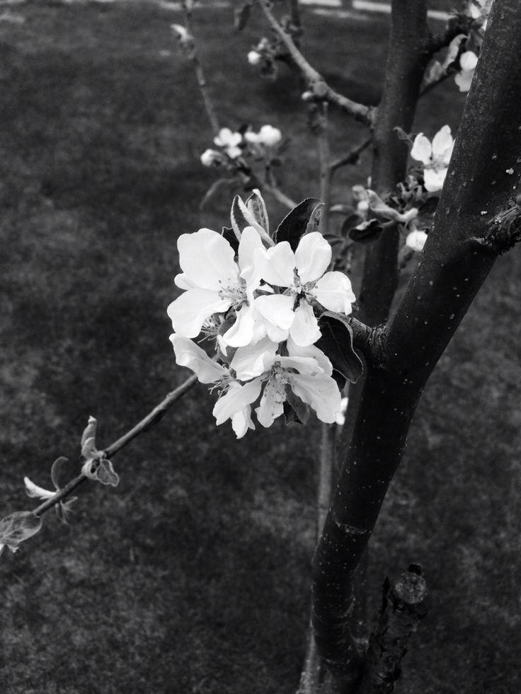 Appletrea outside my house