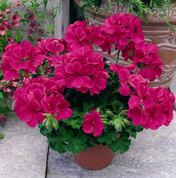 "Geranium Caliente ""Rose"" is a profuse bloomer with many rose pink single blooms which cover the plant. Ideal for containers, this award winning ivy-zonal hybrid is very heat and drought tolerant and blooms non stop all summer."
