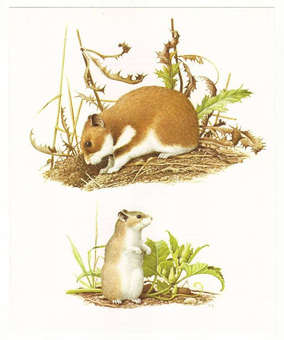 Golden hamster & Siberian hamster original 1965 by PaperThesaurus
