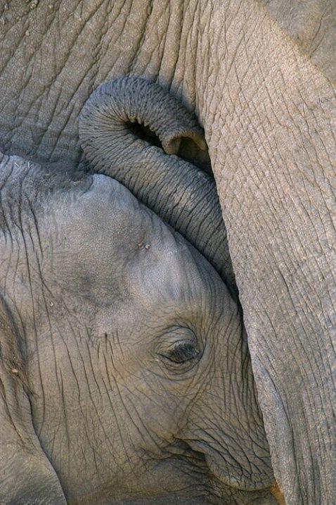Baby elephant nursing, Amboseli National Park, Kenya © Jim Zuckerman