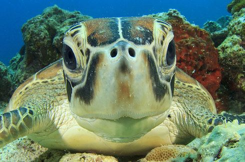 Great Barrier Reef, Australia. Sea turtles are one of our favorites! Inquisitive, fascinating creatures. And cute. www.TheTripStudio.com