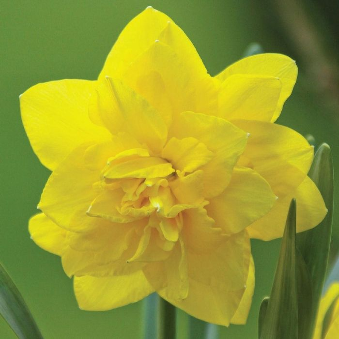 20 best orange yellow flowers images on pinterest yellow flowers narcissus double golden ducat mightylinksfo
