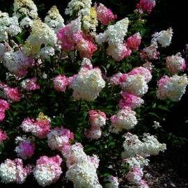 Hortensja bukietowa 'Vanille Fraise' Hydrangea paniculata    DUŻO