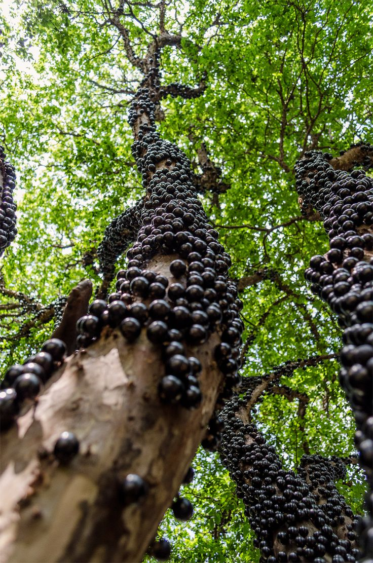Brazilian Grape Tree, guapurú, or jaboticaba, grows fruit from its trunk. Once harvested, fruits begin to ferment in 3 to 4 days, and is very rarely shipped beyond the growing regions. via @Meghan Krane Martin