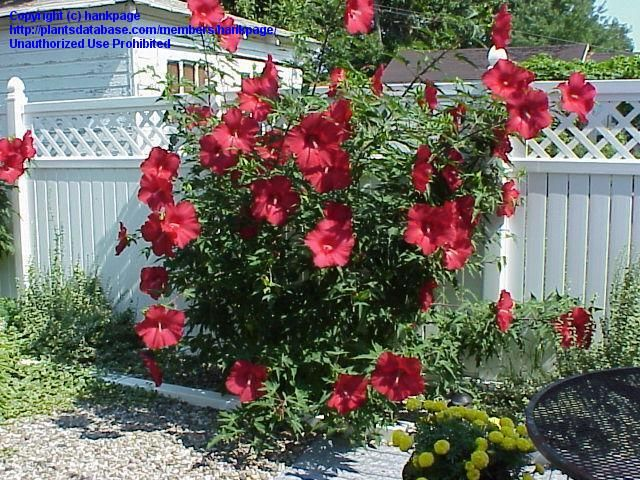 Buy Hibiscus Luna Red Online Fondos De Pantalla