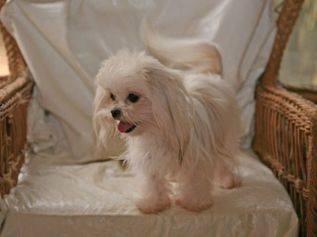 Teacup Shih Tzu | FOR SALE / ADOPTION: Tiny Teacup Imperial Shih Tzu Puppies Available ...