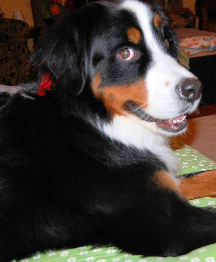 Minnie .. the sweetest Bernese Mountain Dog.