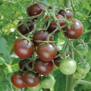Tomato Chocolate Cherry  Click here to buy now UK only sorry  @ http://www.tomato-plants-direct.co.uk/ourshop/prod_2539036-Tomato-Chocolate-Cherry.html