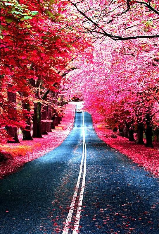 Vibrant pink flowers with the petals falling in heaps on the ground