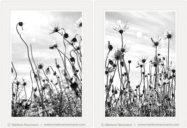 My latest images in the Daisies range...A SKY VIEW...of what it's like to be a flower. Often, i take photographs and afterwards realise why I have. This is because something beyond me is taking them...my higher self. These remind me of us...growing towards the light. The light that is within us is connected to the sun. The Daisy knows it has to grow upwards and straight to the sun. We are like the Daisies...what do they symbolize to you ? Do you like them?...love Marlene