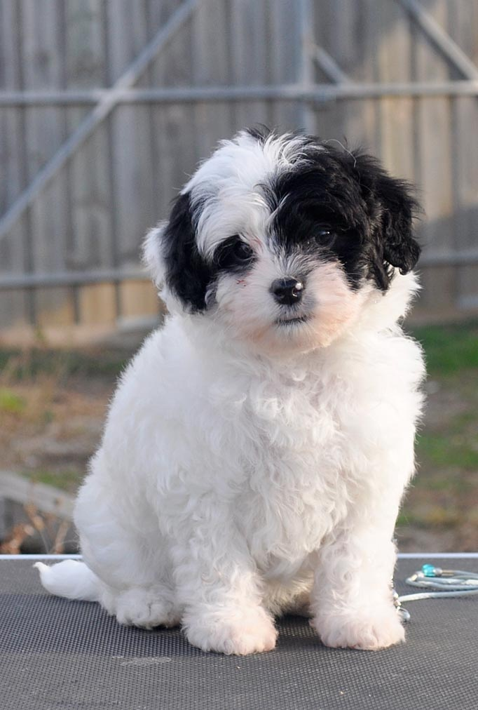 Eddie The Puppy Lowchen Expensive Dogs Dog Breeds Most