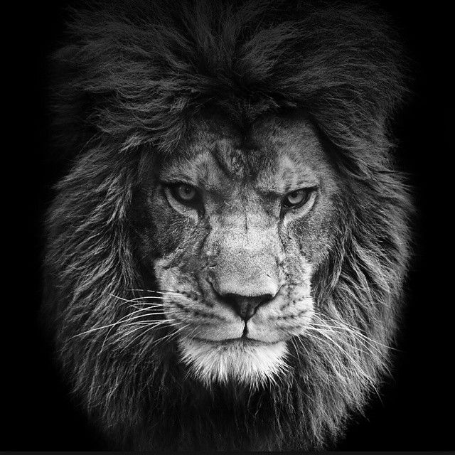 les 74 meilleures images du tableau lion sur pinterest fauves animaux sauvages et royaume des. Black Bedroom Furniture Sets. Home Design Ideas