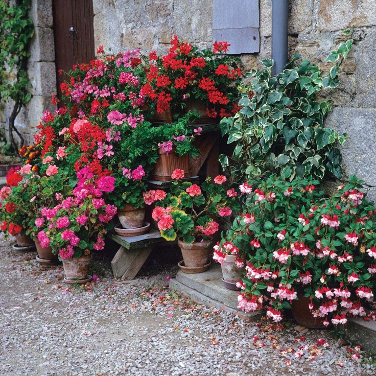 Geraniums and fuchsia in pots